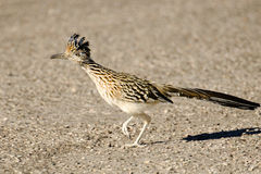Un plus grand fonctionnement d'oiseau de Roadrunner, Arizona, Etats-Unis Photo stock