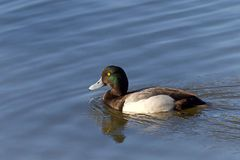 Un plus grand fuligule milouinin masculin dans l'élevage colore la natation dans un lac Image libre de droits