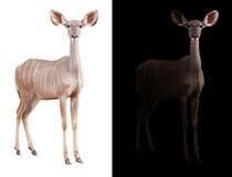 Un plus grand kudu à l'arrière-plan foncé et blanc Photos libres de droits