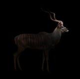 Un plus grand kudu dans l'obscurité photos stock