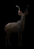 Un plus grand kudu dans l'obscurité photographie stock