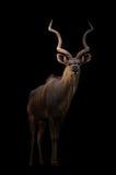Un plus grand kudu dans l'obscurité photographie stock libre de droits