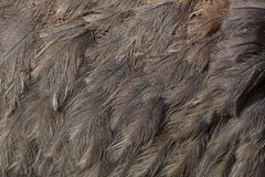 Un plus grand nandou de nandou americana Texture de plumage Photo libre de droits