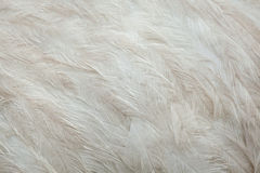 Un plus grand nandou de nandou americana Texture de plumage Photos libres de droits
