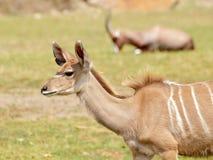 Un plus grand portrait de kudu (strepsiceros de Tragelaphus) Photos libres de droits