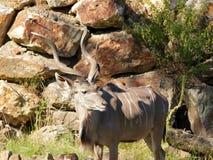 Un plus grand portrait de kudu (strepsiceros de Tragelaphus) Photographie stock