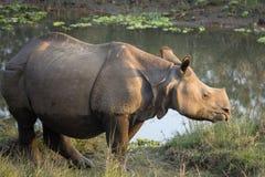 Un plus grand un rhinocéros à cornes Photo libre de droits