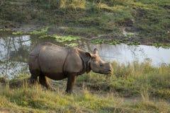 Un plus grand un rhinocéros à cornes Photographie stock