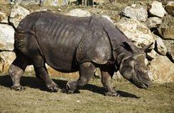 Un plus grand rhinocéros un-à cornes à Pilsen Image libre de droits
