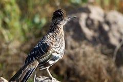 Un plus grand Roadrunner, californianus de Geococcyx Photographie stock libre de droits
