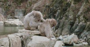 Un plus grand singe plus ancien de neige toilette un plus jeune plus petit singe de neige sur le bord de onsen banque de vidéos
