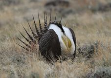 Un plus grand urophasianus de Centrocercus de Sauge-grouse chez Lek dans Se Wyoming Photo stock