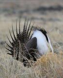 Un plus grand urophasianus de Centrocercus de Sauge-grouse chez Lek dans Se Wyoming 12 Image stock