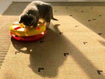 Un poco gatto del latte stava giocando con il suo giocattolo nel sole Fotografia Stock