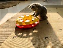 Un poco gatto del latte stava giocando con il suo giocattolo nel sole Fotografia Stock Libera da Diritti
