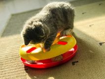 Un poco gatto del latte stava giocando con il suo giocattolo nel sole Immagini Stock