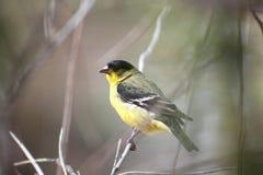 Un poco Goldfinch Fotografie Stock