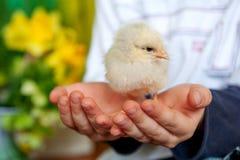 Un poco pollo sulle mani dei bambini, su un ragazzo e su un uccello, migliori amici, concetto di pasqua immagini stock