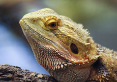 Un Pogona, conocido comúnmente como el dragón barbudo Fotografía de archivo libre de regalías