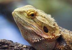 Un Pogona, généralement connu sous le nom de dragon barbu Photographie stock libre de droits