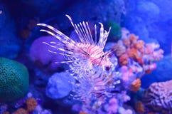 Un poisson blanc rouge de corail de zèbre Image libre de droits