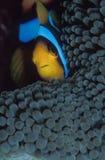 Un poisson d'anémone rayé se cachant derrière les vrilles de son protecteur d'anémone Image libre de droits