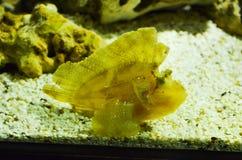 Un poisson de corail jaune sur le sable Images stock
