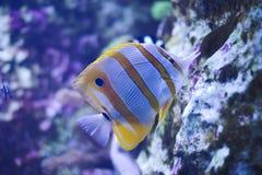 un poisson de docteur nage par le riff dans un réservoir image libre de droits