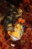 Un poisson de gattorugine de Parablennius Photographie stock libre de droits
