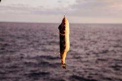 Un poisson de mer accroché Photographie stock