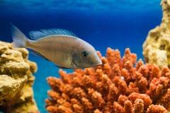 Un poisson flotte dans le corail rouge d'aquarium Photos libres de droits