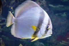Un poisson gris et jaune Photo stock