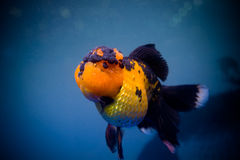 Un poisson rouge Photo stock