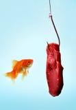 Un poisson rouge avec de la viande Photos stock