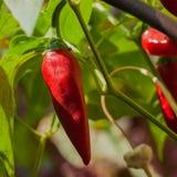 Un poivre de piment d'un rouge ardent pendant d'un buisson dehors dans le potager Photos libres de droits