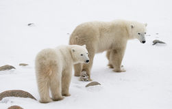 Un polaire concerne la toundra neige canada photos stock