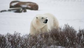 Un polar refiere la tundra nieve canadá Imágenes de archivo libres de regalías