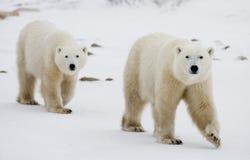 Un polar refiere la tundra nieve canadá Imagenes de archivo