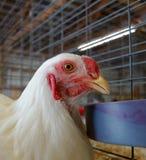 Un pollo ad una fiera della contea Immagine Stock