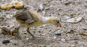 Un pollo africano immagini stock