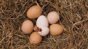Un pollo che cova dall'uovo - lasso di tempo archivi video