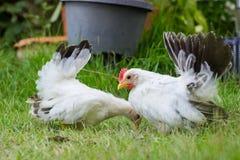 Un pollo di due bianchi Fotografia Stock Libera da Diritti