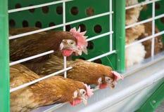 Un pollo di tre rossi Immagini Stock