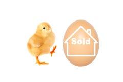 Un pollo está vendiendo su huevo Foto de archivo