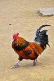Un pollo masculino que camina, cuerpo completo del gallo Fotos de archivo