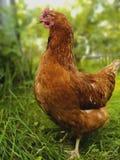 Un pollo rojo que camina en la hierba en el pueblo en verano fotos de archivo