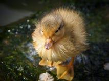 Un polluelo Foto de archivo