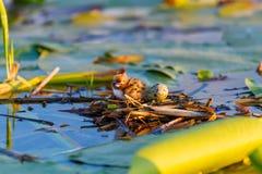 Un polluelo bonito en la jerarquía en el río Imágenes de archivo libres de regalías