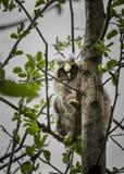 Un polluelo de un búho se sienta en una rama Fotografía de archivo libre de regalías