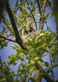 Un polluelo de un búho se sienta en una rama Imagenes de archivo